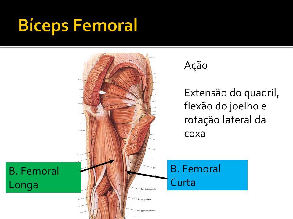Bíceps Femoral Ação. Extensão do quadril, flexão do joelho e rotação lateral da coxa. B. Femoral Curta.