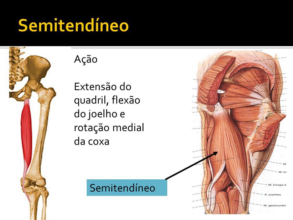 Semitendíneo Ação Extensão do quadril, flexão do joelho e rotação medial da coxa Semitendíneo