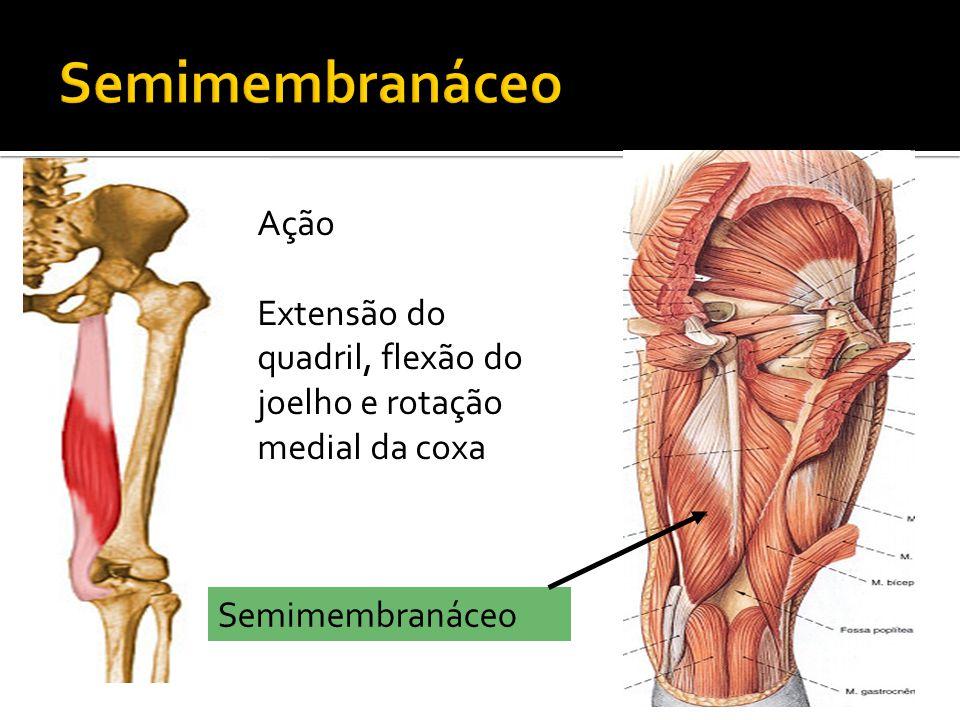Semimembranáceo Ação Extensão do quadril, flexão do joelho e rotação medial da coxa Semimembranáceo