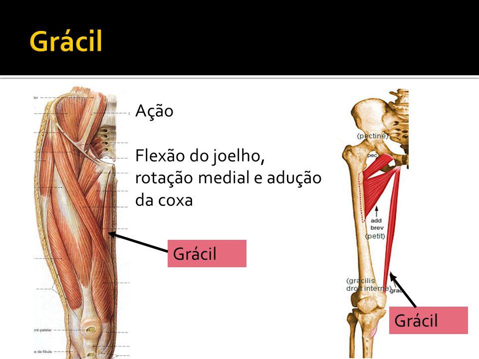 Grácil Ação Flexão do joelho, rotação medial e adução da coxa Grácil