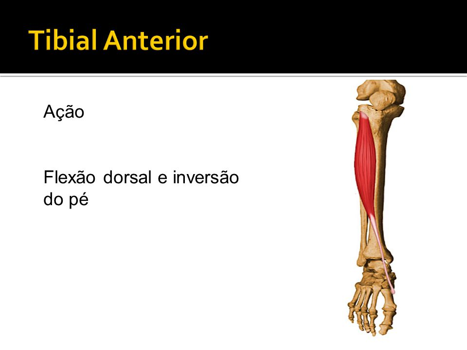 Tibial Anterior Ação Flexão dorsal e inversão do pé