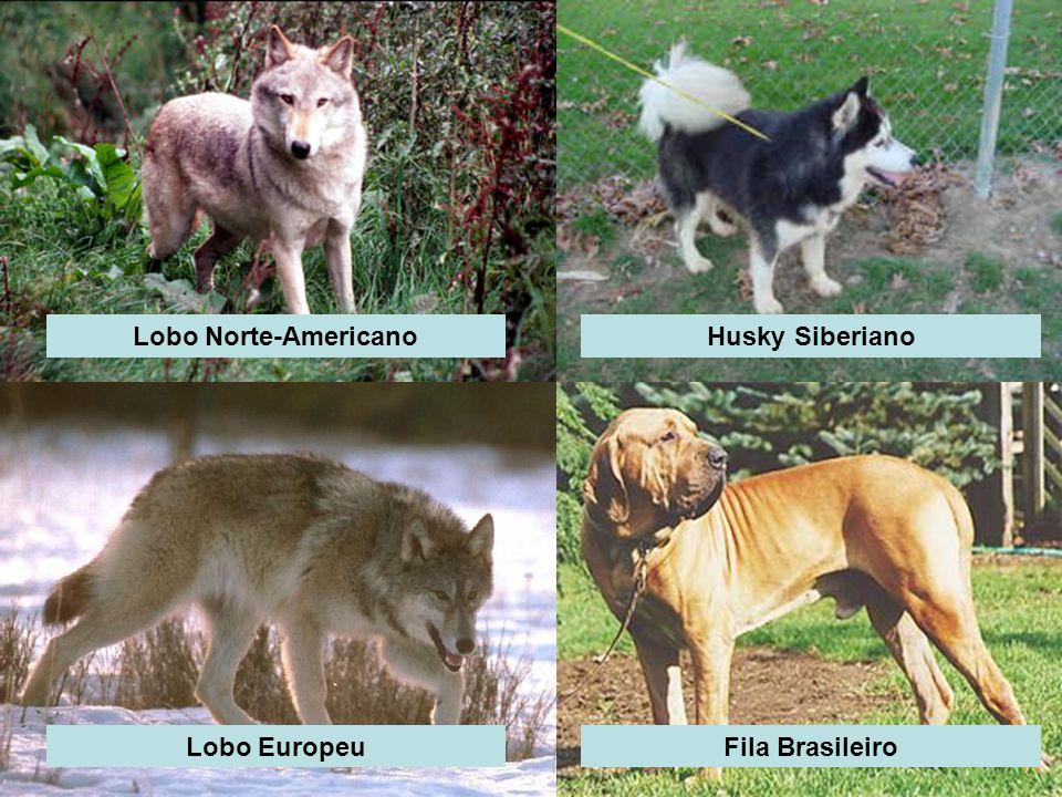 Lobo Norte-Americano Husky Siberiano Lobo Europeu Fila Brasileiro