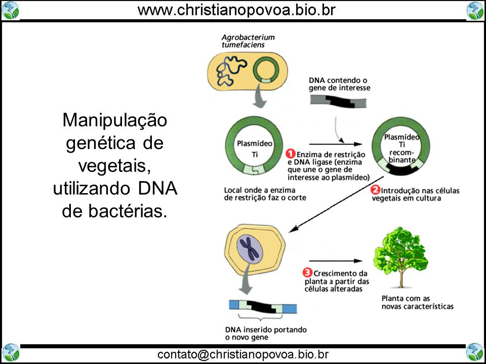 Manipulação genética de vegetais, utilizando DNA de bactérias.