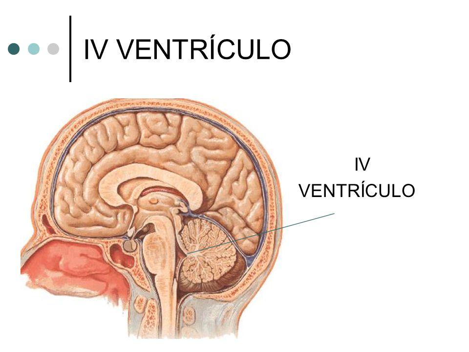 IV VENTRÍCULO IV VENTRÍCULO