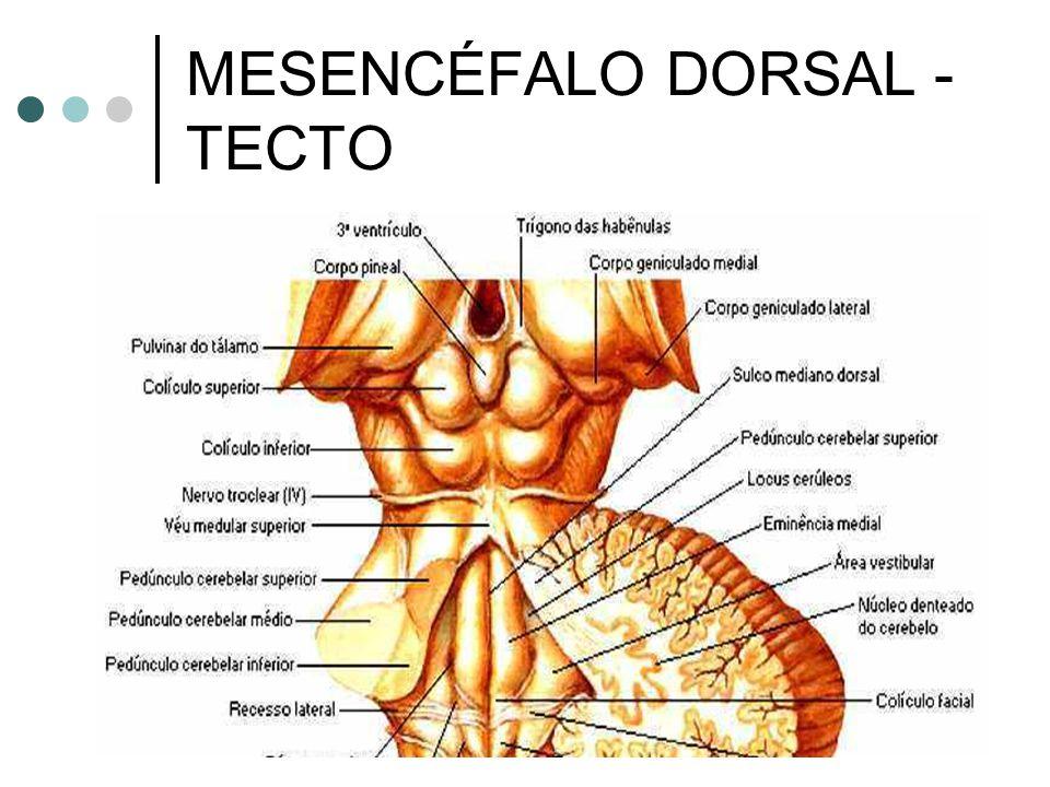 MESENCÉFALO DORSAL - TECTO