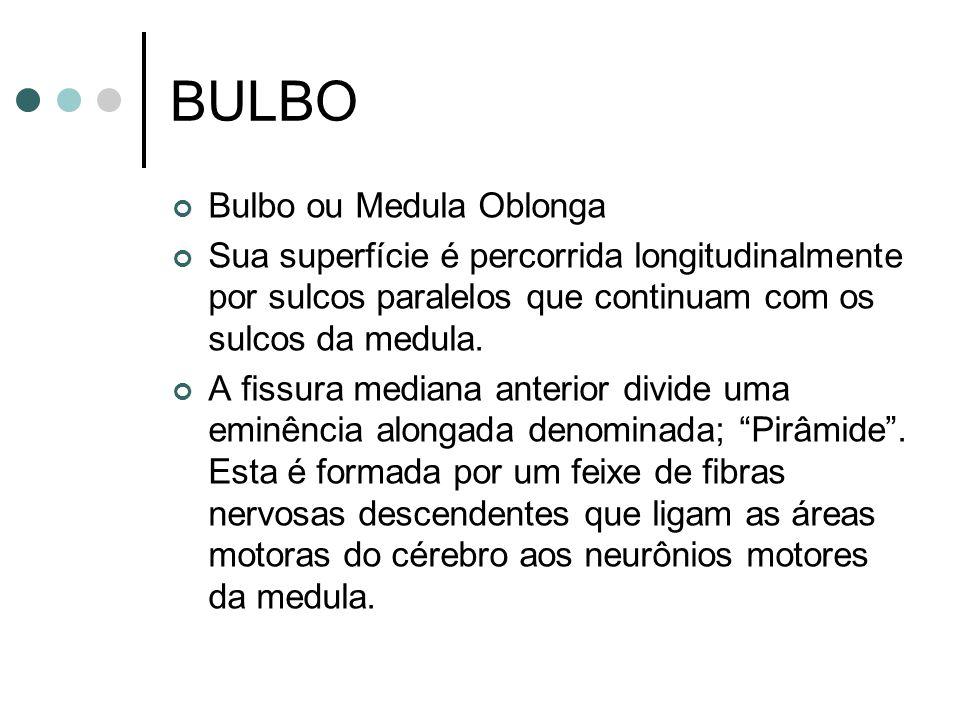 BULBO Bulbo ou Medula Oblonga