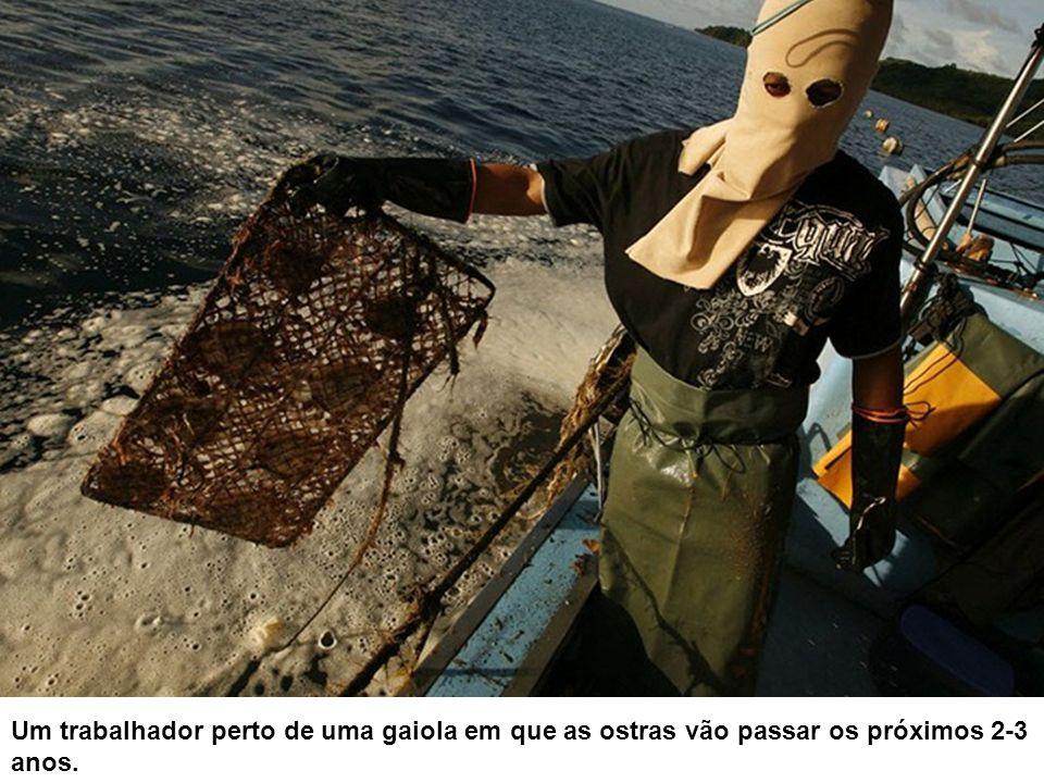 Um trabalhador perto de uma gaiola em que as ostras vão passar os próximos 2-3