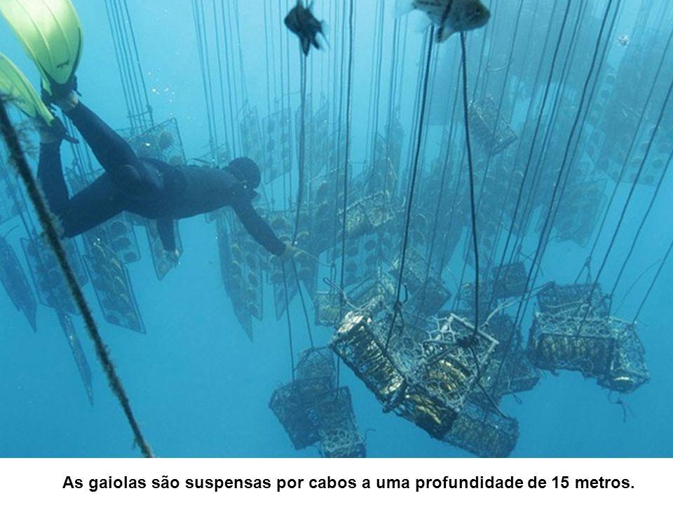 As gaiolas são suspensas por cabos a uma profundidade de 15 metros.