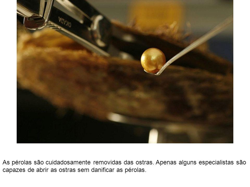 As pérolas são cuidadosamente removidas das ostras