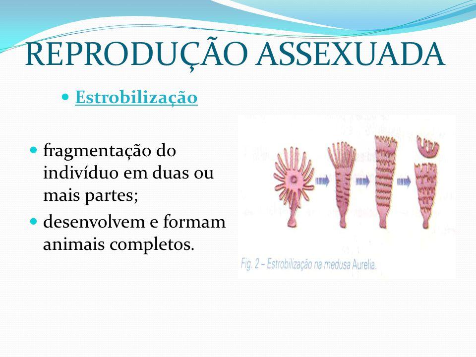 REPRODUÇÃO ASSEXUADA Estrobilização