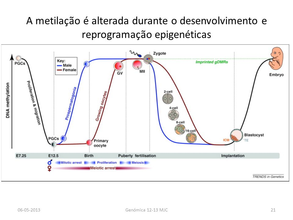 A metilação é alterada durante o desenvolvimento e reprogramação epigenéticas