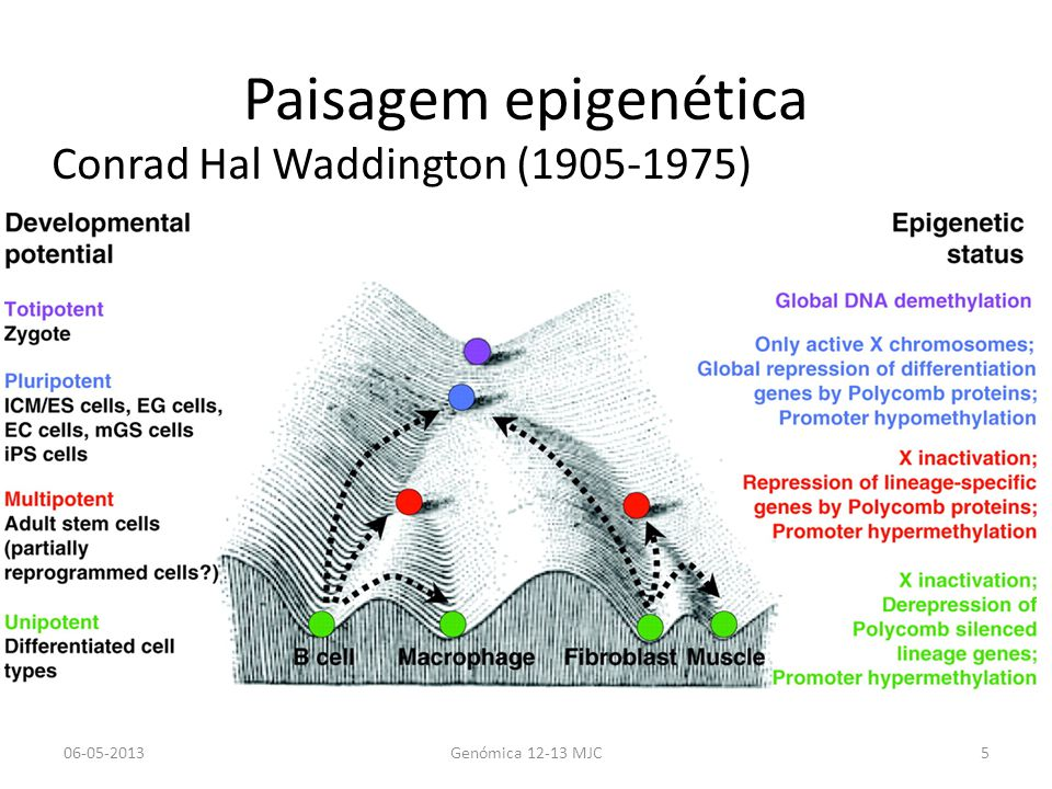 Paisagem epigenética Conrad Hal Waddington (1905-1975) 06-05-2013