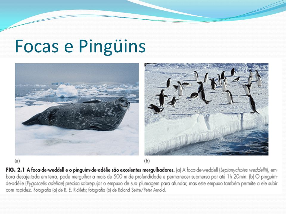 Focas e Pingüins