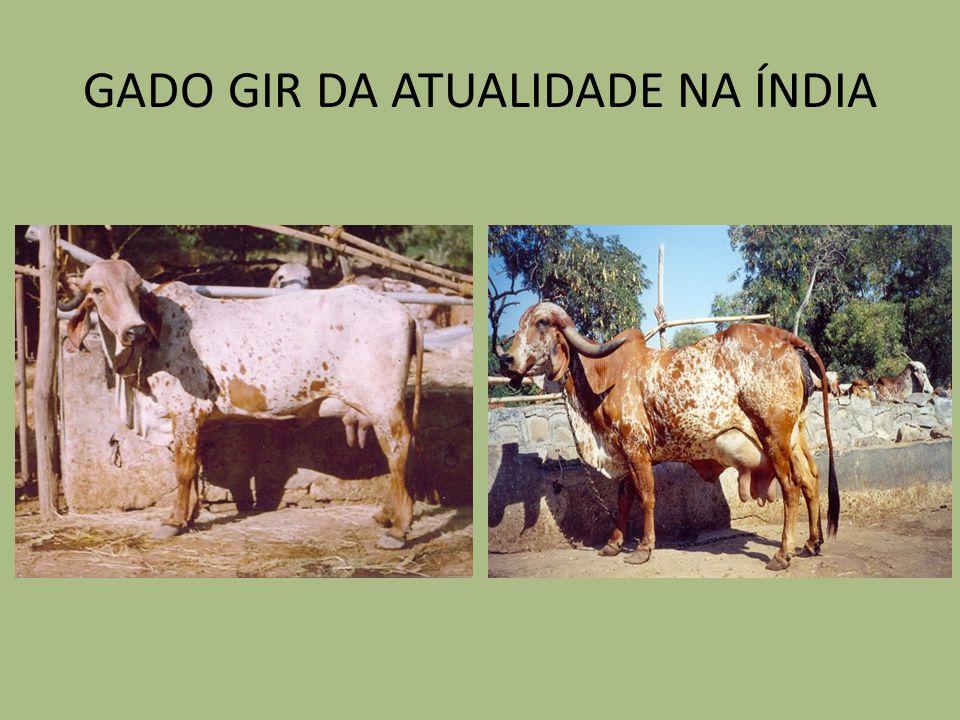 GADO GIR DA ATUALIDADE NA ÍNDIA