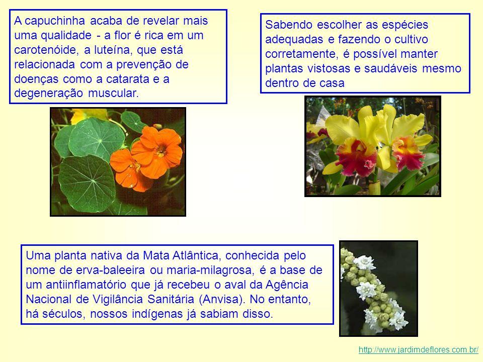 A capuchinha acaba de revelar mais uma qualidade - a flor é rica em um carotenóide, a luteína, que está relacionada com a prevenção de doenças como a catarata e a degeneração muscular.