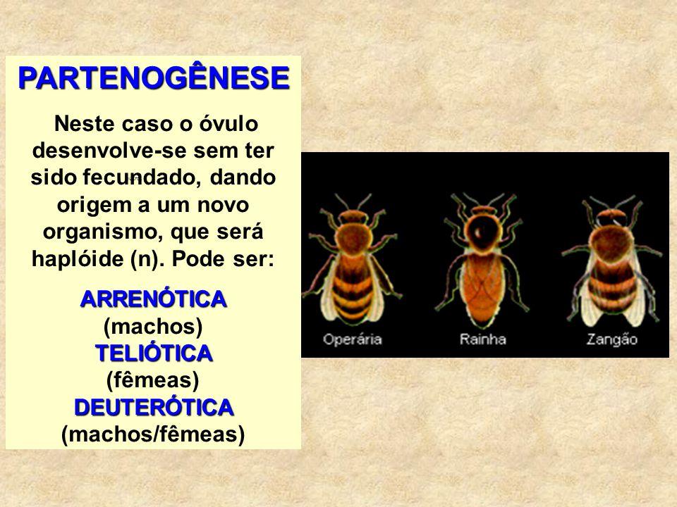ARRENÓTICA (machos) TELIÓTICA (fêmeas) DEUTERÓTICA (machos/fêmeas)