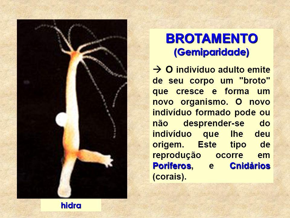BROTAMENTO (Gemiparidade)