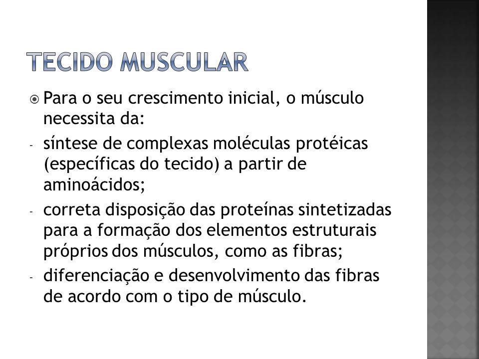 TECIDO MUSCULAR Para o seu crescimento inicial, o músculo necessita da: