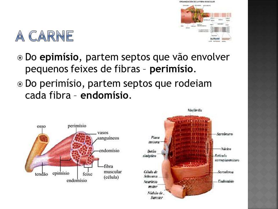 A carne Do epimísio, partem septos que vão envolver pequenos feixes de fibras – perimísio.