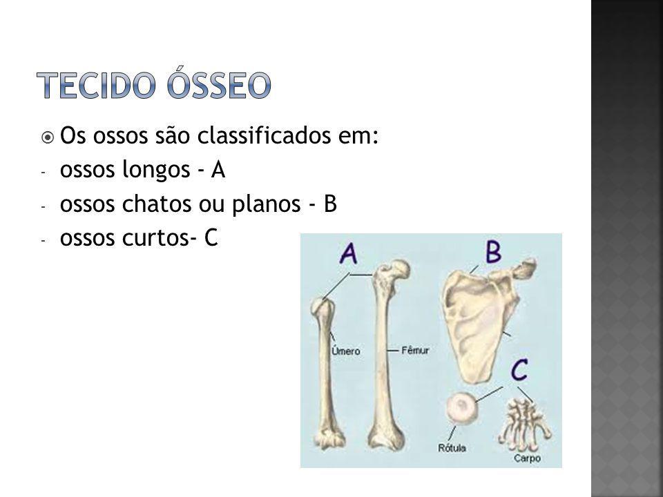 Tecido ósseo Os ossos são classificados em: ossos longos - A