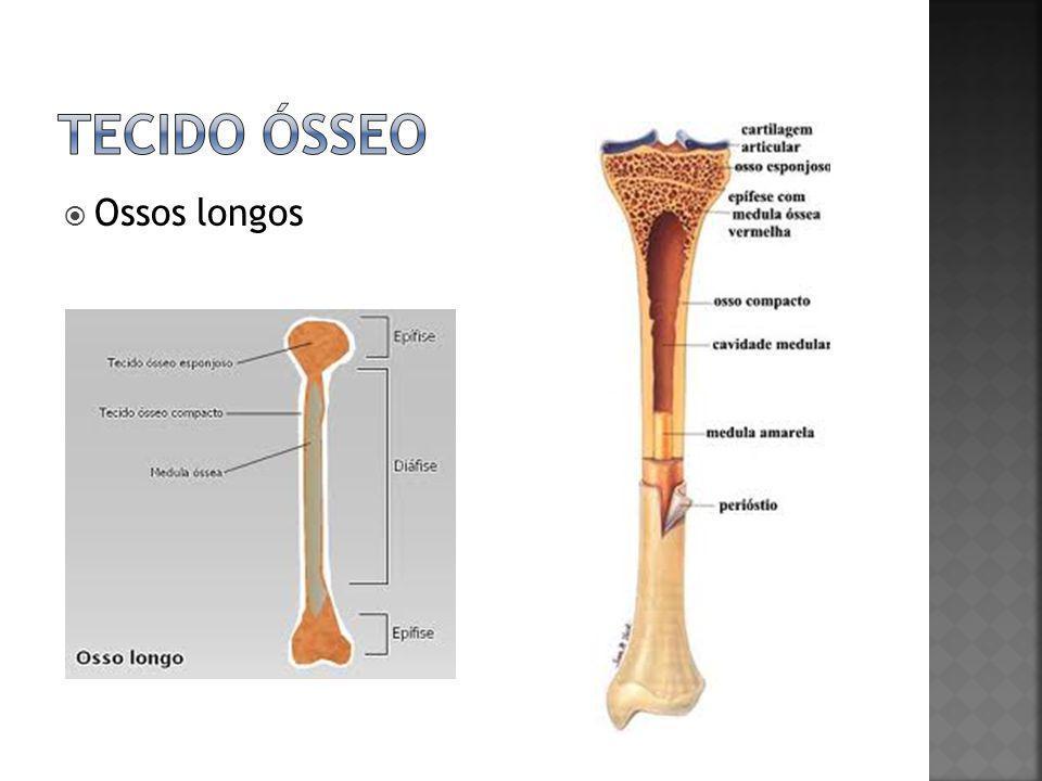 Tecido ósseo Ossos longos