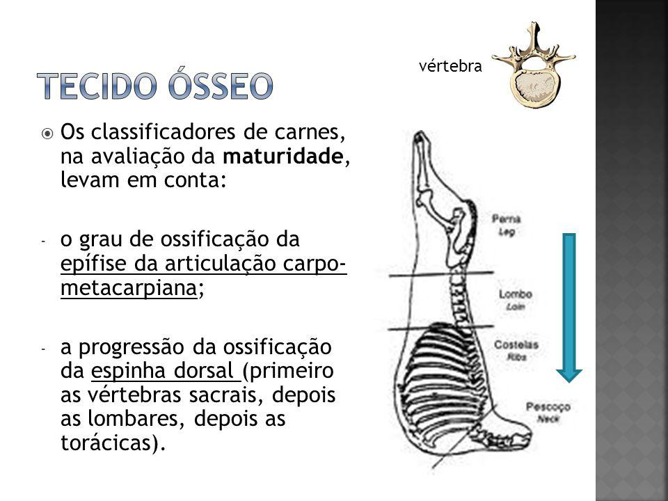 Tecido ósseo vértebra. Os classificadores de carnes, na avaliação da maturidade, levam em conta: