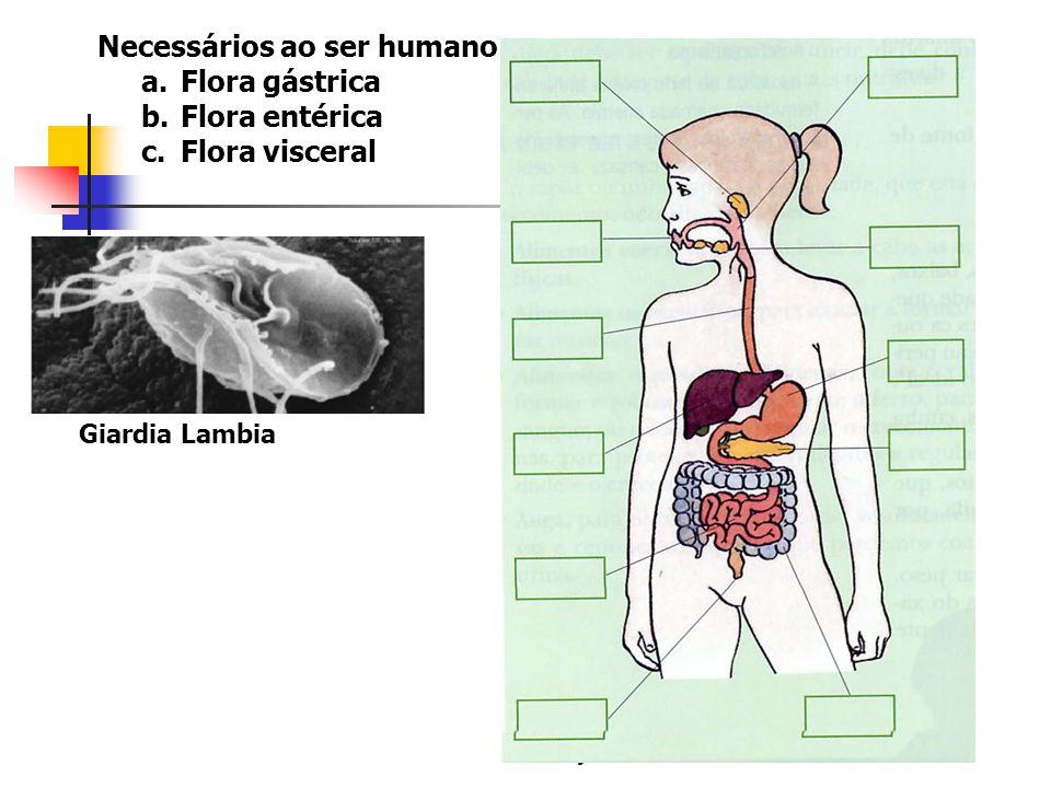 Necessários ao ser humano Flora gástrica Flora entérica Flora visceral