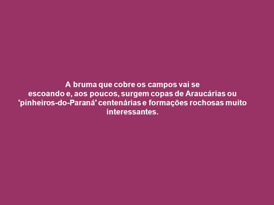 A bruma que cobre os campos vai se escoando e, aos poucos, surgem copas de Araucárias ou pinheiros-do-Paraná centenárias e formações rochosas muito interessantes.