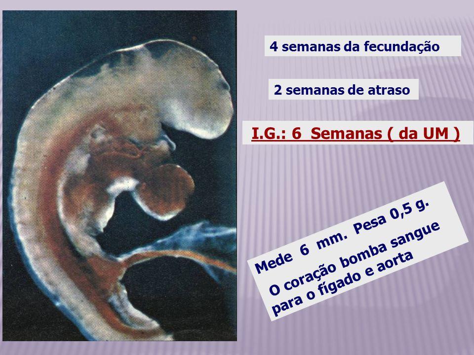 I.G.: 6 Semanas ( da UM ) Mede 6 mm. Pesa 0,5 g.