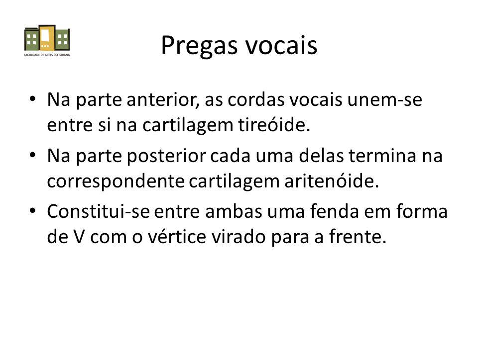 Pregas vocais Na parte anterior, as cordas vocais unem-se entre si na cartilagem tireóide.