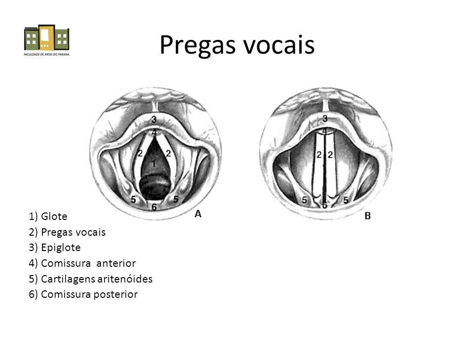 Pregas vocais 1) Glote 2) Pregas vocais 3) Epiglote
