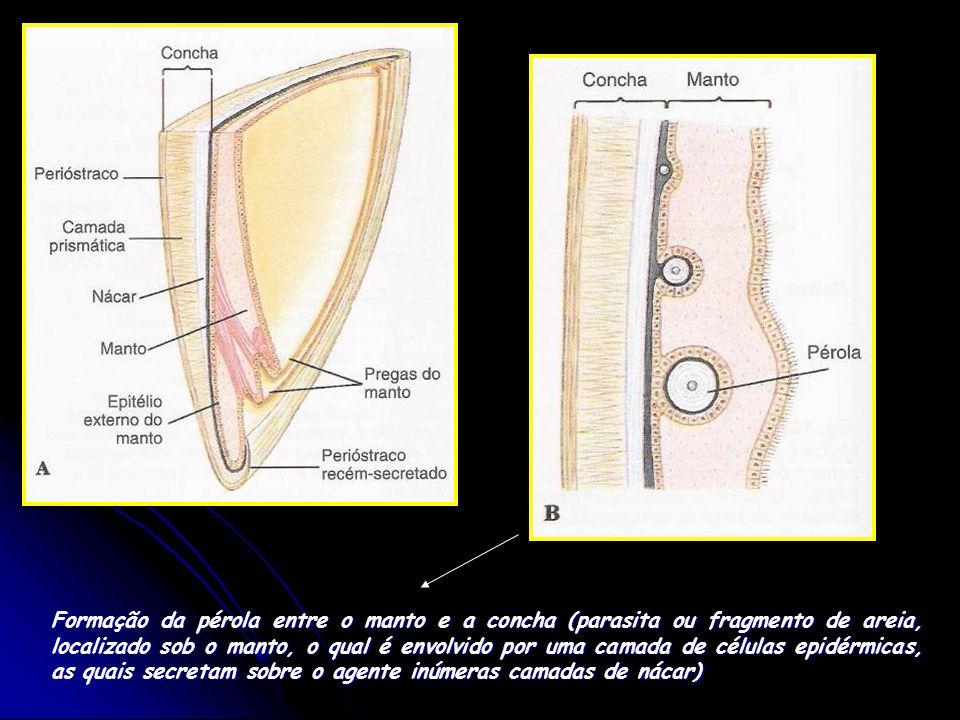 Formação da pérola entre o manto e a concha (parasita ou fragmento de areia, localizado sob o manto, o qual é envolvido por uma camada de células epidérmicas, as quais secretam sobre o agente inúmeras camadas de nácar)