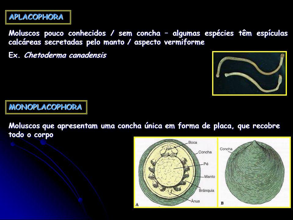 APLACOPHORA Moluscos pouco conhecidos / sem concha – algumas espécies têm espículas calcáreas secretadas pelo manto / aspecto vermiforme.