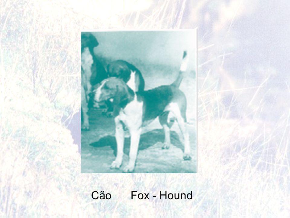 Cão Fox - Hound