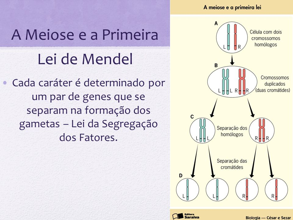 A Meiose e a Primeira Lei de Mendel