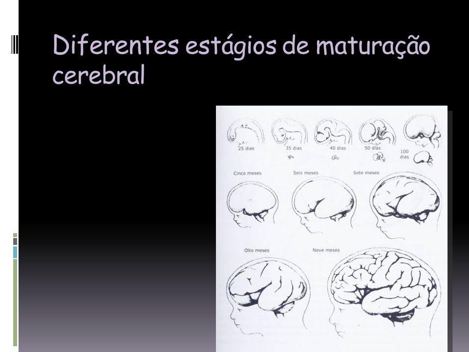 Diferentes estágios de maturação cerebral