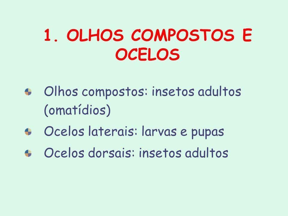 1. OLHOS COMPOSTOS E OCELOS