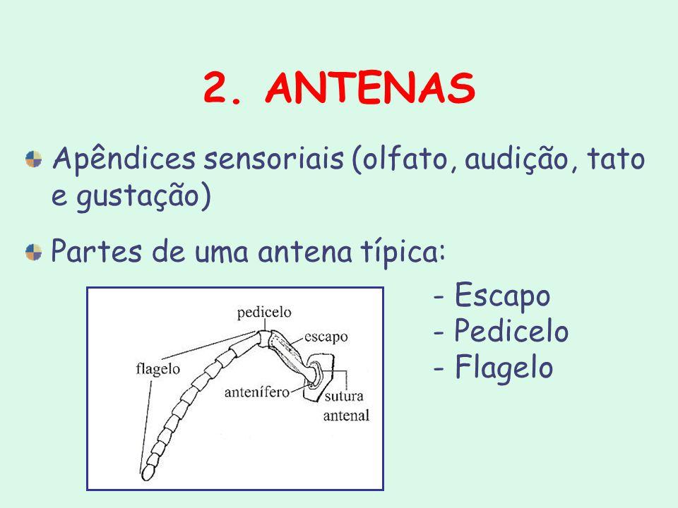 2. ANTENAS Apêndices sensoriais (olfato, audição, tato e gustação)