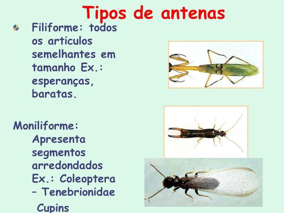 Tipos de antenas Filiforme: todos os articulos semelhantes em tamanho Ex.: esperanças, baratas.