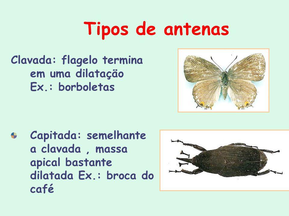Tipos de antenas Clavada: flagelo termina em uma dilataçäo Ex.: borboletas.