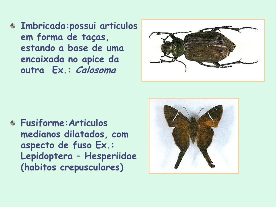 Imbricada:possui articulos em forma de taças, estando a base de uma encaixada no apice da outra Ex.: Calosoma