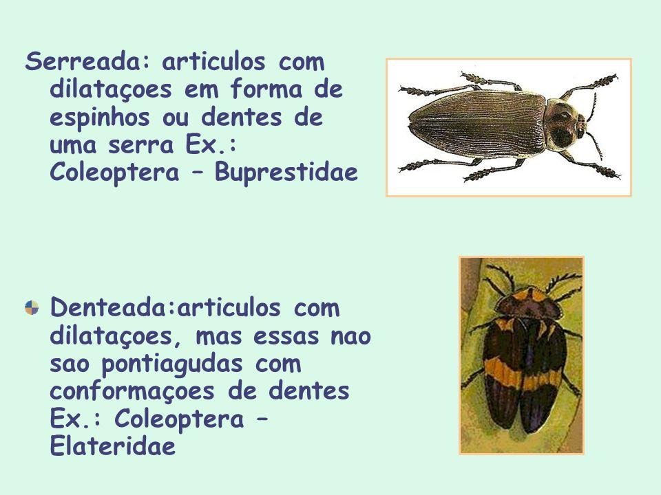Serreada: articulos com dilataçoes em forma de espinhos ou dentes de uma serra Ex.: Coleoptera – Buprestidae