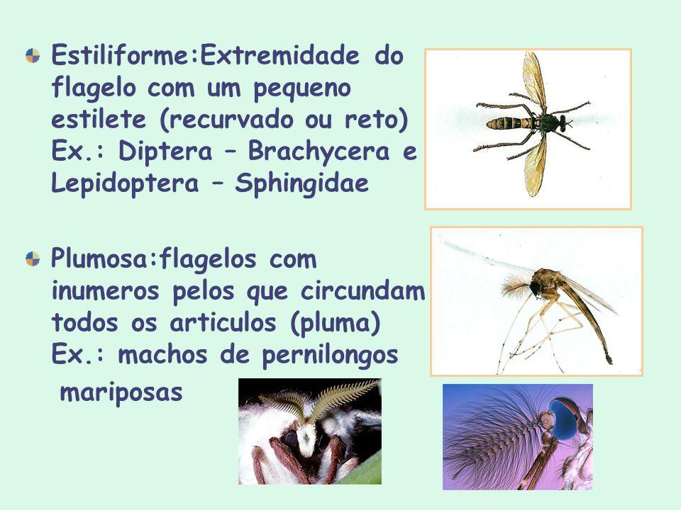 Estiliforme:Extremidade do flagelo com um pequeno estilete (recurvado ou reto) Ex.: Diptera – Brachycera e Lepidoptera – Sphingidae