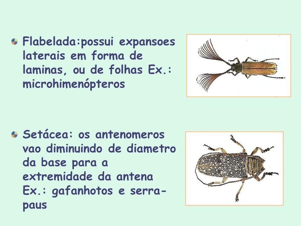Flabelada:possui expansoes laterais em forma de laminas, ou de folhas Ex.: microhimenópteros