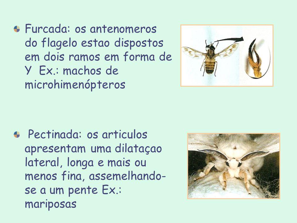 Furcada: os antenomeros do flagelo estao dispostos em dois ramos em forma de Y Ex.: machos de microhimenópteros