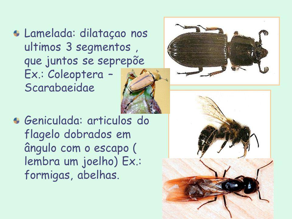 Lamelada: dilataçao nos ultimos 3 segmentos , que juntos se seprepõe Ex.: Coleoptera – Scarabaeidae