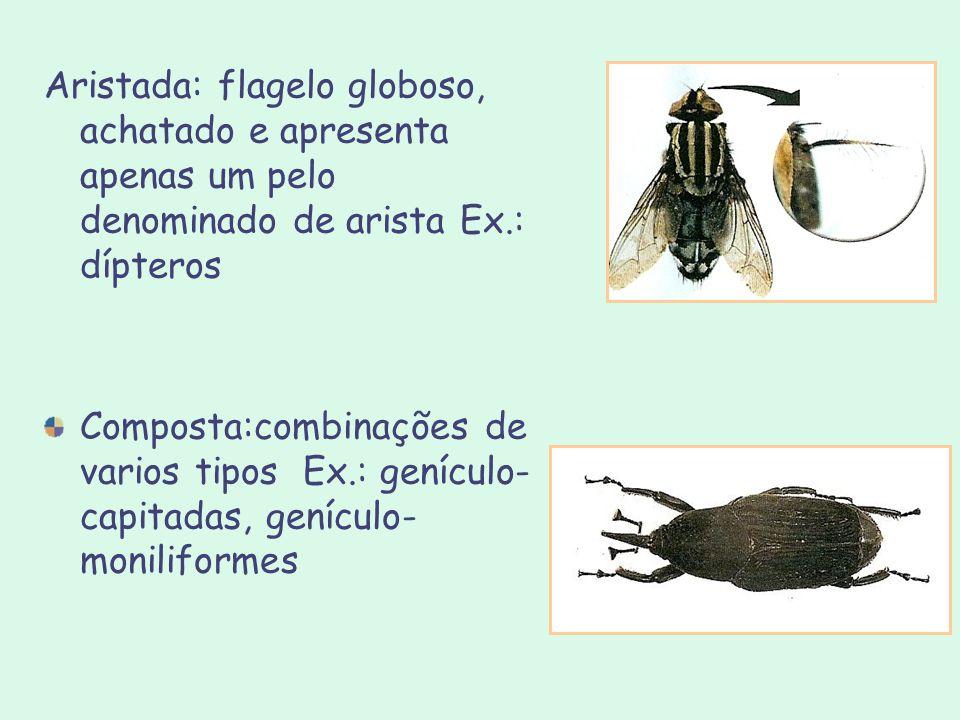 Aristada: flagelo globoso, achatado e apresenta apenas um pelo denominado de arista Ex.: dípteros