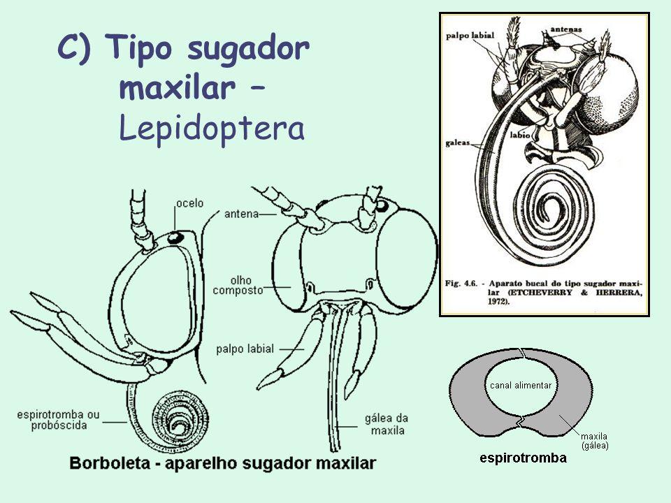 C) Tipo sugador maxilar – Lepidoptera