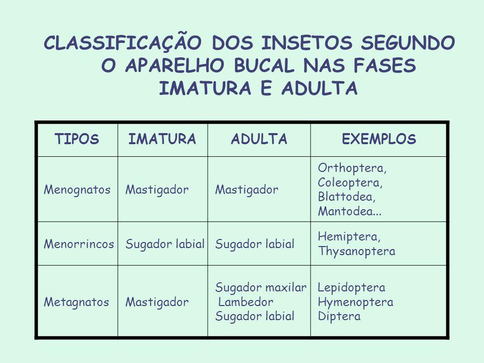 CLASSIFICAÇÃO DOS INSETOS SEGUNDO O APARELHO BUCAL NAS FASES IMATURA E ADULTA