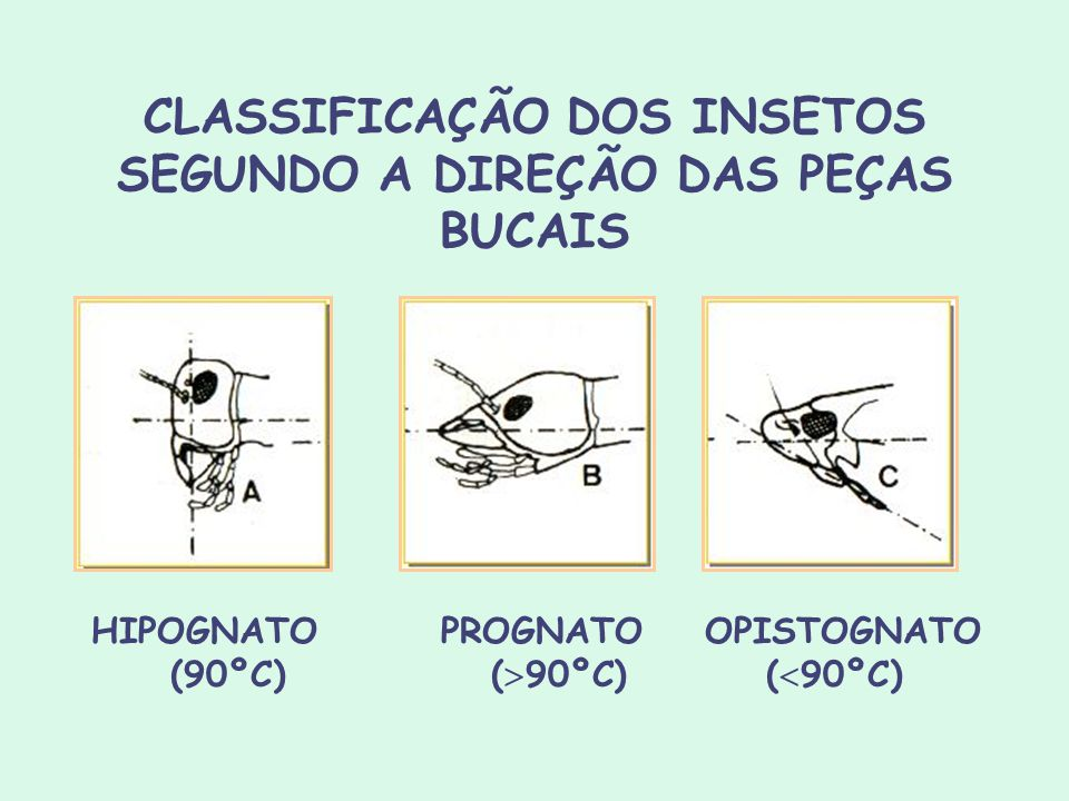 CLASSIFICAÇÃO DOS INSETOS SEGUNDO A DIREÇÃO DAS PEÇAS BUCAIS